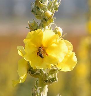 honeybee sucking nectar