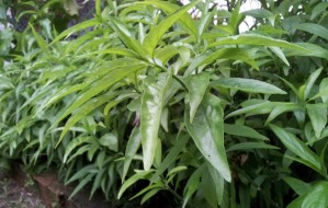 vishalata plants